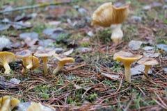 在绿色青苔的森林蘑菇在下落的叶子和杉木腐土中 免版税库存图片