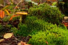 在绿色青苔的毒红色蘑菇 免版税库存图片