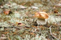 在绿色青苔的牛肝菌蕈类蘑菇在森林里 免版税库存照片