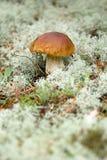 在绿色青苔的牛肝菌蕈类蘑菇在森林里 库存照片