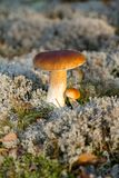 在绿色青苔的牛肝菌蕈类蘑菇在森林里 免版税库存图片