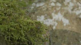 在绿色青苔的红色森林蚂蚁 在自然的蚂蚁在森林和绿色青苔里 免版税图库摄影