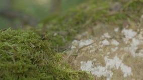 在绿色青苔的红色森林蚂蚁 在自然的蚂蚁在森林和绿色青苔里 免版税库存图片