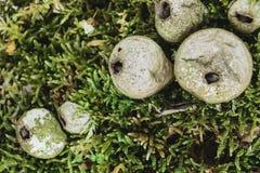 在绿色青苔背景的马勃菌真菌蘑菇 中央蘑菇在焦点 库存图片