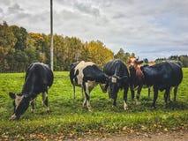 在绿色领域的好奇幼小公牛 免版税库存图片