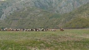 在绿色领域的山羊 影视素材