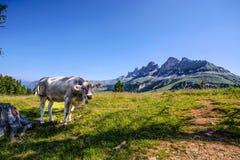 在绿色领域的母牛在白云岩landscaoe,意大利 库存图片