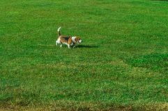 在绿色领域的狗 库存照片