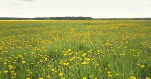 在绿色领域的空中行动用开花的蒲公英 股票录像