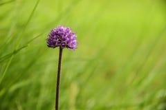 在绿色领域的紫色花 免版税库存照片