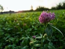 在绿色领域的红三叶草早晨 免版税图库摄影