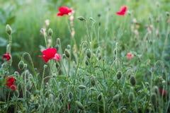 在绿色领域的美丽的红色鸦片 鸦片开花在夏天庭院里 库存照片