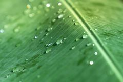 在绿色香蕉叶子海浪的特写镜头有选择性的软的焦点雨下落 库存图片