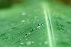 在绿色香蕉叶子海浪的特写镜头有选择性的软的焦点雨下落 免版税库存照片