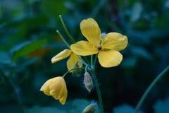 在绿色bokeh背景的三朵黄色花 免版税图库摄影