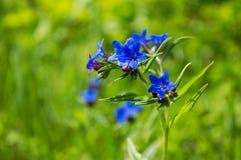 在绿草中的一朵蓝色领域花 免版税库存照片