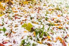在绿草和下落的红色和黄色叶子,晴朗的秋天天的第一雪 免版税图库摄影