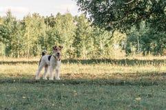 在绿草和看的一个逗人喜爱的狐狸狗立场  跑在有树作为背景的庭院里的它 它有拷贝 免版税库存图片