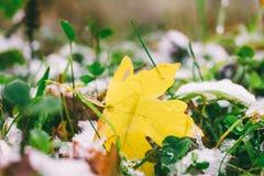 在绿草和雪的下落的黄色枫叶 库存图片