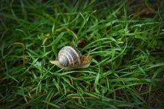 在绿草宏观射击的大镶边蜗牛 免版税图库摄影