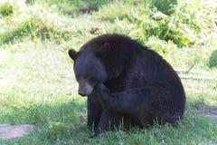 在绿草抓的黑熊 免版税库存照片