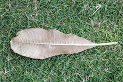 在绿草特写镜头照片的干燥叶子 库存图片