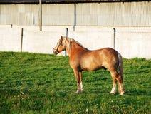 在绿草的一匹红色马 免版税库存照片