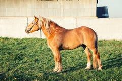 在绿草的一匹红色马 免版税库存图片