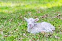 在绿草的一只新出生的白色羊羔 免版税库存图片