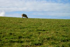 在绿草的一只绵羊 库存图片