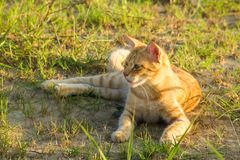 在绿草的一只逗人喜爱的红色猫观看某事 夏天,日落,动物是难加热 免版税库存照片