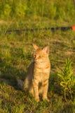 在绿草的一只逗人喜爱的红色猫观看某事 夏天,日落,动物是难加热 免版税库存图片