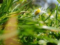 在绿草的一朵雏菊 免版税图库摄影