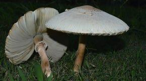 在绿草的两个白色蘑菇 免版税库存照片