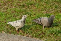 在绿草的两只大鸽子在公园 免版税库存照片