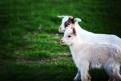 在绿草的两只白色小山羊 免版税库存照片