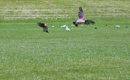 在绿草的两只鹦鹉 免版税库存照片