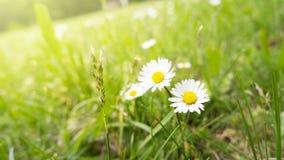 在绿草的两朵雏菊花 库存图片