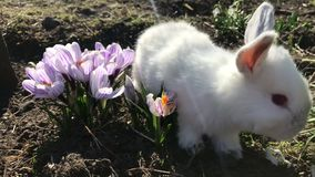 在绿草的兔子,白色兔子一点兔子,小的白色兔宝宝 影视素材