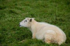 在绿草的唯一绵羊 库存照片