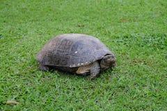 在绿草的大乌龟 免版税库存图片