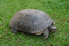 在绿草的大乌龟 免版税库存照片