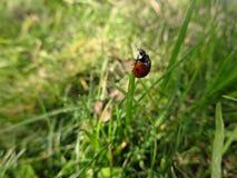 在绿草的小的瓢虫 免版税图库摄影