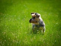 在绿草的小的逗人喜爱的狗身分和拿着他的玩具,等待aport 免版税库存照片