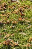 在绿草的干燥黄色叶子 库存图片