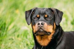 在绿草的年轻黑Rottweiler Metzgerhund小狗戏剧 免版税库存图片