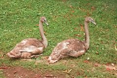 在绿草的幼小天鹅 免版税库存照片