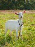 在绿草的幼小山羊 库存图片