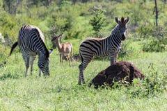 在绿草的斑马和小牛身分 免版税库存照片