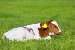 在绿草的新出生的棕色白色小牛 免版税库存图片